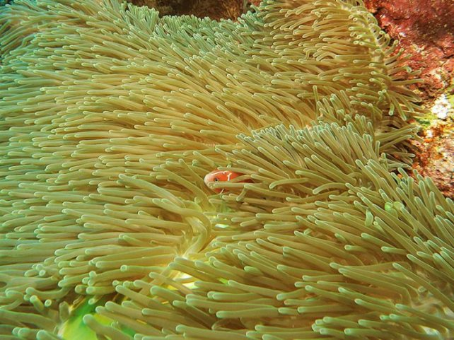 skunk-anemonefish-3