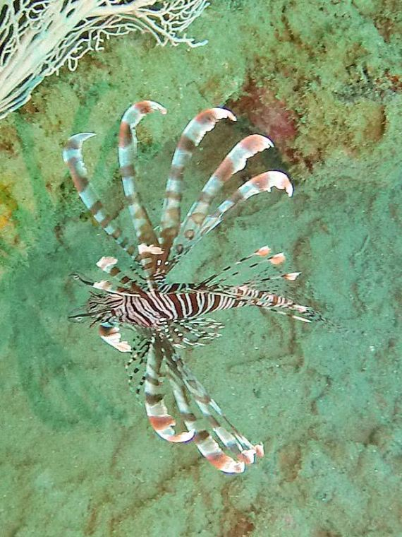 b1-lionfish