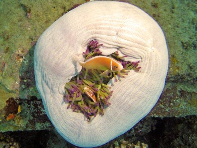 b2-anemone-fish