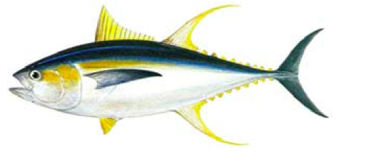 Yello Fin Tuna